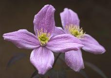 Kwiatonośny clematis w ogródzie w wiośnie Obrazy Royalty Free
