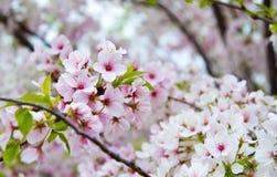 Kwiatonośny Czereśniowego okwitnięcia drzewo Zdjęcia Royalty Free