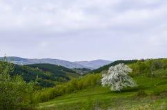 Kwiatonośny czereśniowy drzewo fotografia stock