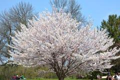 Kwiatonośny czereśniowy drzewo obraz royalty free