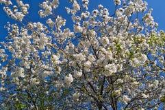 Kwiatonośny czereśniowy drzewo Zdjęcie Stock
