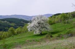 Kwiatonośny czereśniowy drzewo zdjęcia stock
