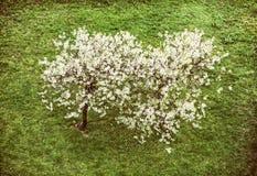Kwiatonośny czereśniowy drzewo i zielona trawa, piękno filtr Zdjęcie Stock