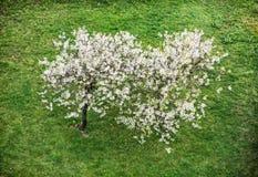 Kwiatonośny czereśniowy drzewo i zielona trawa, wiosna czas Zdjęcia Royalty Free