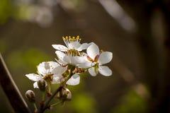 Kwiatonośny czereśniowy drzewo - wiosna motyw z białymi kwiatami Zdjęcia Stock