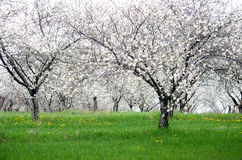 Kwiatonośny czereśniowy sad w Michigan fotografia stock