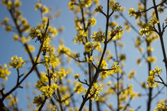 Kwiatonośny dereń w wiosna dniu w jasnej pogodzie Zdjęcie Stock