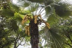Kwiatonośny drzewko palmowe zdjęcie royalty free