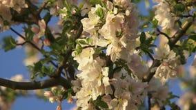 Kwiatonośny drzewo zbiory