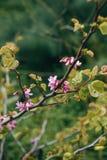 Kwiatonośny drzewo w wiośnie Gałąź z kwiatami i liśćmi na słonecznym dniu Fotografia Royalty Free