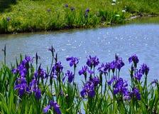 Kwiatonośny irys w japończyka ogródzie, Kyoto Japonia obraz stock