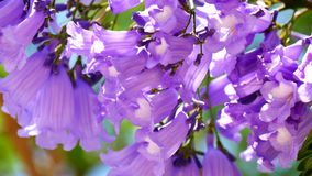 Kwiatonośny Jacaranda drzewo (4K)
