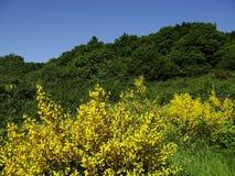 Kwiatonośny kolcolist zdjęcie royalty free