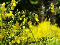 Kwiatonośny kolcolist zdjęcie stock
