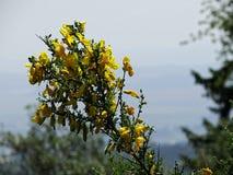 Kwiatonośny kolcolist obrazy royalty free