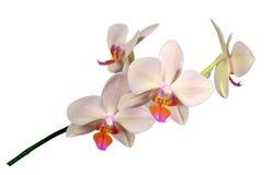 Kwiatonośny krótkopęd piękny hybrydowy storczykowy Phalaenopsis, rozmaitości ` Margarita ` Zdjęcia Royalty Free