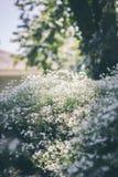 Kwiatonośny krzak w słońcu Obraz Royalty Free