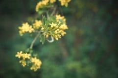 Kwiatonośny krzaka agrest Gałęziasty okwitnięcie na zamazanym zmroku g Zdjęcia Stock