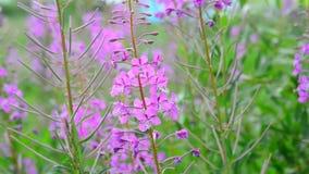 Kwiatonośny kwitnący Sally kiwanie w wiatrze zbiory