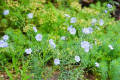 Kwiatonośny lna Linum perenne Jaskrawi błękitni kwiaty linum perenne zdjęcie royalty free