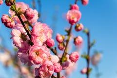 Kwiatonośny migdał Obrazy Stock