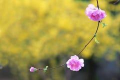 Kwiatonośny migdał Obraz Royalty Free