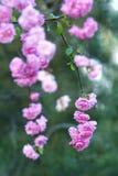 Kwiatonośny migdał Zdjęcie Stock