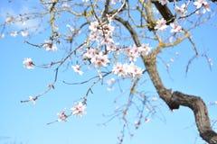 Kwiatonośny migdałowy drzewo zdjęcie royalty free