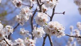 Kwiatonośny morelowy drzewo Insekty zapylają kwiaty Materiał filmowy klamerka 4k, UHD HD, Ultra zbiory wideo