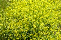 Kwiatonośny musztardy pole na jaskrawym słonecznym dniu Zako?czenie obraz royalty free