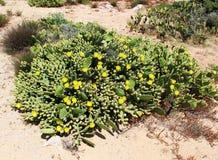 Kwiatonośny opuntia robusta, kłująca bonkreta Zdjęcie Stock
