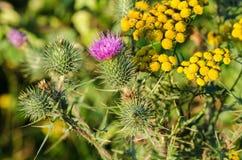 Kwiatonośny oset kardy crispus fotografia royalty free