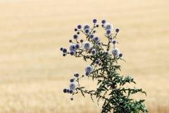 Kwiatonośny oset po środku pola Zdjęcie Royalty Free