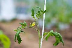 Kwiatonośny pomidorowy zbliżenie Zdjęcia Stock
