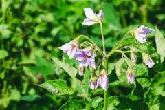 Kwiatonośny potatoe z bzem kwitnie w rolnika jarzynowym ogródzie obraz royalty free