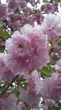 kwiatonośny różowe drzewo Obrazy Royalty Free