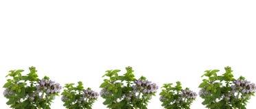 kwiatonośny ramowy świeży ziele oregano Obraz Stock
