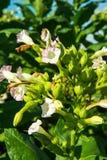 Kwiatonośny tytoń Fotografia Royalty Free