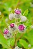 Kwiatonośny Wielkiego łopianu Arctium lappa Zdjęcie Royalty Free