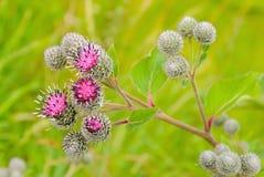 Kwiatonośny Wielkiego łopianu Arctium lappa Obraz Stock