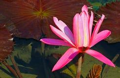 Kwiatonośnych hybryd menchii wodna leluja zdjęcie royalty free