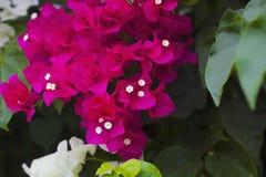 Kwiatonośnych krzaków różowy Bougainvillea Zdjęcia Stock