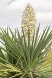 Kwiatonośna agawa Obraz Royalty Free