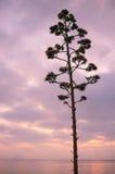 Kwiatonośna agawa Zdjęcia Stock