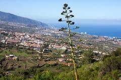 Kwiatonośna agawa americana przeciw miastu i morzu La Orotava dolina na wyspach kanaryjska, Hiszpania Zdjęcie Stock