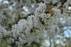 Kwiatonośna bonkreta Zdjęcia Royalty Free