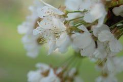 Kwiatonośna bonkreta Obraz Stock