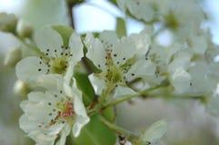 Kwiatonośna bonkreta Zdjęcie Royalty Free
