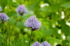 Kwiatonośna dekoracyjna lila cebula Obraz Royalty Free