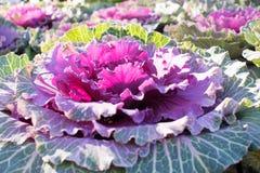 Kwiatonośna kapusta Zdjęcie Royalty Free
